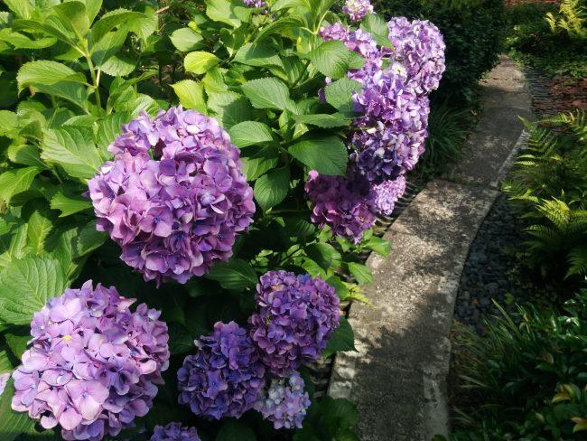 紫陽花あじさい aeru gojo