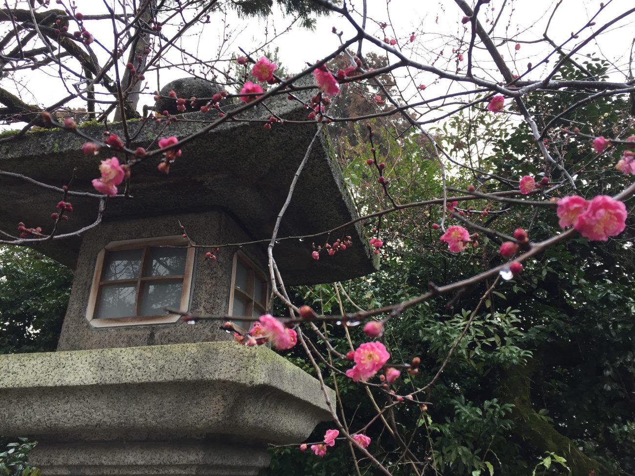 京都 梅の花